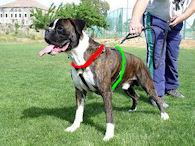 boxer harness