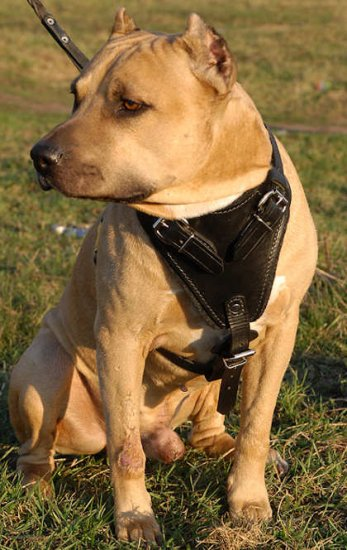 Adjustable Agitation/Protection Leather Dog Harness for Amstaff/terrier