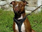 Adjustable Tracking Walking leather dog harness- pitbull dog harness