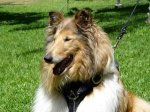 Adjustable Tracking Walking leather dog harness - Collie dog harness