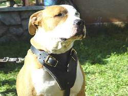 amstaff leather dog harness dog