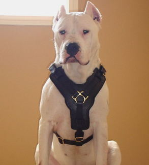 Argentino dogo leather dog harness