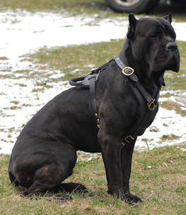 Adjustable Exclusive Luxury Handcrafted Padded Leather Harness cane corso