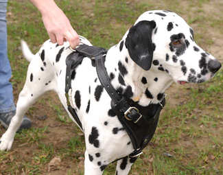 Dalmatian dog harness for dog training