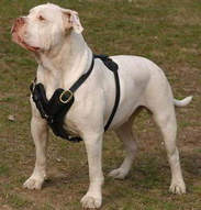 exclusive dog harness for american bulldog