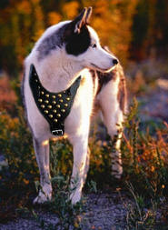 studded walking dog harness for Siberian Husky