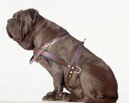 Neapolitan Mastiff dog harness - Large dog harness
