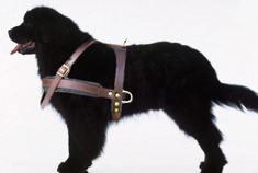 Newfoundland leather dog harness-large size