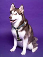luxury handmade leather dog harness for Siberian Husky