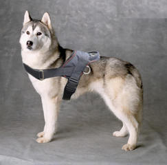 Nylon dog harness for Siberian husky with handle