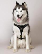 Siberian Husky walking dog harness