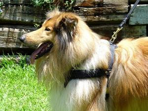 Collie harness for walking