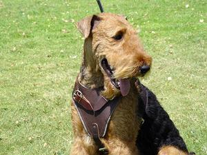 airedale terrier dog harness for walking and dog training