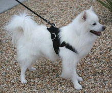 american eskimo dog harness - small nylon dog harness