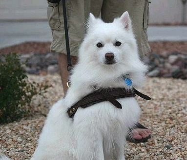 small and medium sizing of harness for american eskimo