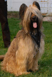 briard dog harness for walking , pulling