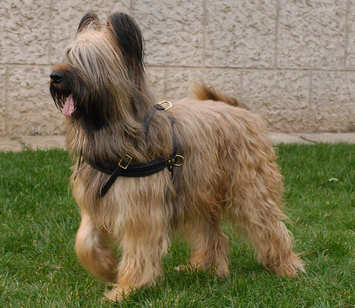 Adjustable Tracking/Pulling Leather Dog Harness- Briard harness