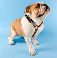 leather dog harness for english bulldog