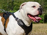 American Bulldog Harnesses