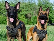 Belgian Malinois Harnesses