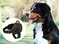 bernese-mountain-dog-harnesses-category