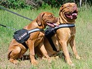 Dogue de Bordeaux Harnesses
