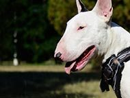 English Bull Terrier Harnesses