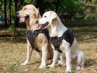 Golden Retriever Harnesses