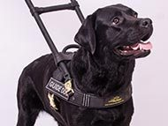 Labrador Retriever Harnesses