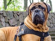 Old English Mastiff Harnesses