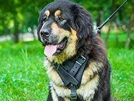 Tibetian Mastiff dog Harnesses