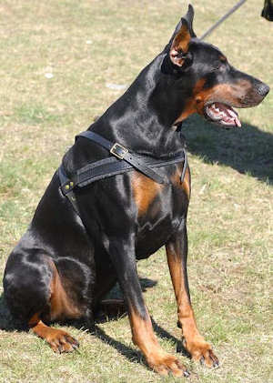 doberman dog harness, Pulling dog harness
