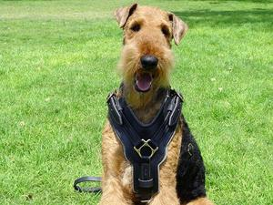 luxury Airedale Terrier dog harness