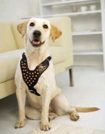 Labrador leather dog harness