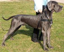 Tracking Pulling dog harness for great dane