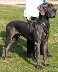 dog harness for great dane