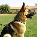 Pulling Tracking dog harness dor german shepherd