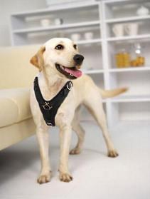 Labrador leather dog harness