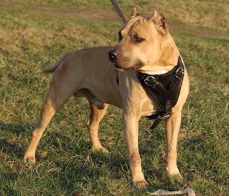 Adjustable Agitation/Protection Leather Dog Harness- Pit bull