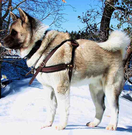 Pulling Tracking leather dog harness for Akita