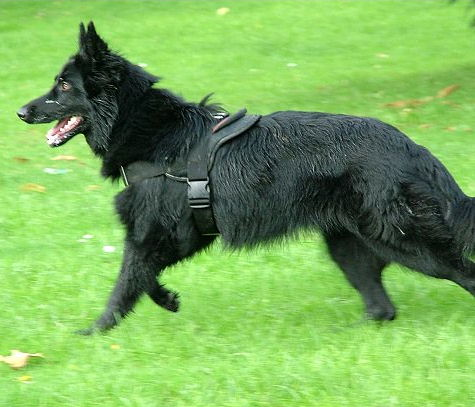 Adjustable Belgian Sheepdog harness- Nylon multi-purpose dog harness
