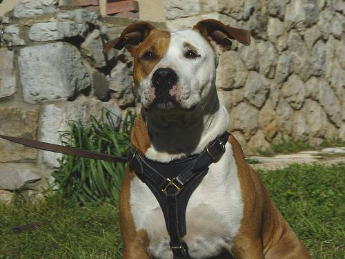 Adjustable Tracking Walking leather dog harness for Amstaff