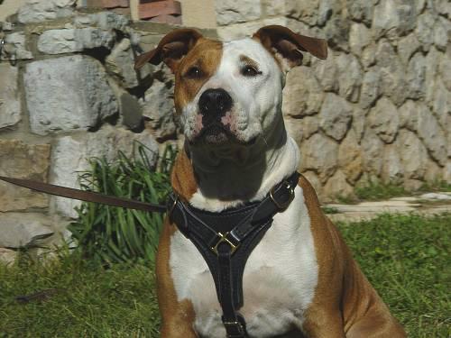 Adjustable Tracking Walking leather dog harness for Amstaff