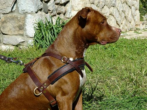 Adjustable Tracking/Pulling Leather Dog Harness- Pitbull harness