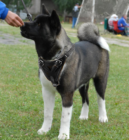 Adjustable Akita Protection Leather Dog Harness- custom dog harness