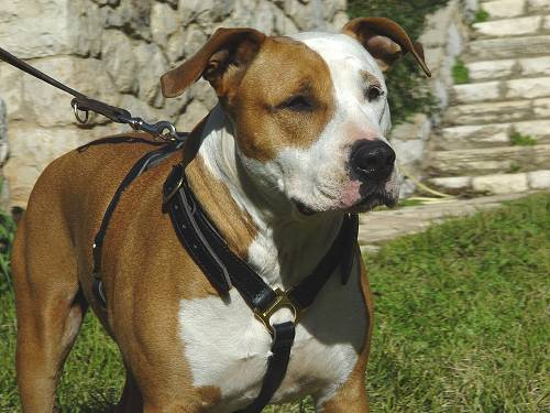 Adjustable Luxury handcrafted dog harness - Amstaff