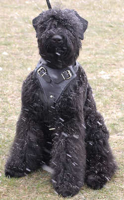 Adjustable Tracking, Сustom Leather Dog Harness for Black Russian Terrier