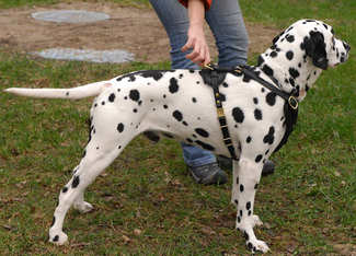 luxury dog harness for dalmatian