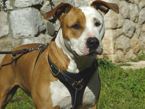 leather-dog-harness-amstaff-kid
