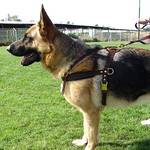 Pulling Tracking dog harness schutzhund training